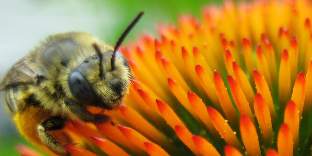 honey_bee_on_flower