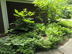 Woodland Garden Mature Plantings Native Plants